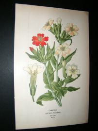 Step 1897 Antique Botanical Print. Campion
